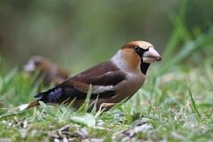 Kernbeiser (reipa59) Tags: natur kernbeiser hawfinch bird vogel ransweiler rheinlandpfalz nature