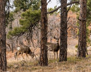 Spruce Mtn wildlife