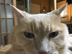 Norio's Portrait (sjrankin) Tags: japan hokkaido yubari bedroom closeup norio cat animal edited 16january2018