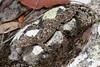 Saltuarius kateae (nicgambold) Tags: australianwildlife reptile nsw banyabba carphodactylidae gecko