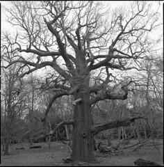 panshanger oak (steve-jack) Tags: hasselblad 501cm 80mm cb kodak trix 400 film medium format 6x6 id11 epson v500