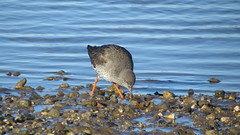 Redshank (hedgehoggarden1) Tags: redshank wader birds wildlife canonpowershotsx50hs norfolk eastanglia uk nature feeding canon tide tideline