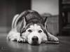 Unimpressed (Images by April) Tags: siberianhusky husky blackandwhitehusky