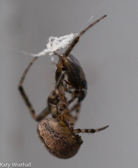 Wrapping spider (Katy Wrathall) Tags: 2018 eastriding eastyorkshire england march spring arachnid spider