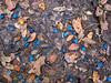 Yett Creek- cedar berriesJanuary 2018 (1 of 1) (Rick Byrnes) Tags: cedar ashjuniper juniper cedarberries iphone iphone7plus 7plus iphone7 blue leaves january