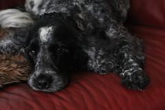 Little Confidential (excellentzebu1050) Tags: closeup cockerspaniel cocker dog doggy animalportraits animal farm indoors spaniel pet coth5 sunrays5