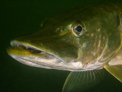 Pike III (altsaint) Tags: 45mm bucklandlake gf1 kent panasonic pike fish freshwater lake scuba