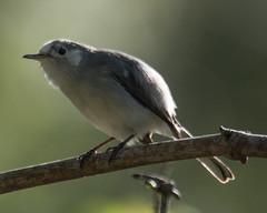 Identification Help Please (Fred Roe) Tags: nikond7100 nikkorafs80400mmf4556ged nikonafsteleconvertertc14eii nature wildlife birds birding birdwatching birdwatcher