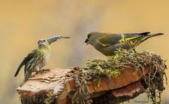 La fame e' fame! (Danilo Agnaioli) Tags: collinedelperugino umbria italia natura inverno bird canon7dmarkii