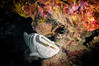 Coming Through! (RoamingTogether) Tags: diving epinephelinae epinephelusstriatus florida floridakeys grouper ikelite ikeliteds51 johnpennekamp keylargo molassesreef nassaugrouper nikon nikon181053556 nikond300 pennekampstatepark