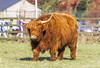 Spectator (Kev Gregory (General)) Tags: highland cattle highlandcattle cow beef bull head long horn longhorn longhair scotland scottish shaggy nature hairy animal mammal farm livestock hair domestic agriculture grass meadow wildlife outdoor horns brown black field autumn landscape horned forest colours red pasture trossachs kev gregory canon 7d cambridgeshire