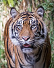 Joanne (ToddLahman) Tags: joanne female mammal sumatrantiger sandiegozoosafaripark safaripark canon7dmkii canon canon100400 closeup tiger tigers tigertrail beautiful portrait escondido eyelock exhibita