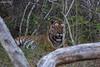 Formidable (Deepu Cyriac) Tags: travel karnataka indianforest nature nilgiribiosphere wildlife westernghats bigcat stripedcat tiger bandipurnp bandipur bandipurwildlifesanctuary bandipurtr bengaltiger royalbengaltiger