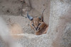 Caracal. (LisaDiazPhotos) Tags: lisadiazphotos living desert palm wildlife caracal