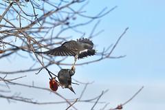 柿の奪い合い (myu-myu) Tags: nature bird wildbird sturnuscineraceus whitecheekedstarling persimmon nikon d500 野鳥 ムクドリ 柿 japan