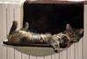 Dimanche radiateur ;-) (Kermitfrog Nouveau look ;-)) Tags: maya chat cat cats chats katze dole jura franchecomté hamac de radiateur froid gris février vivelété