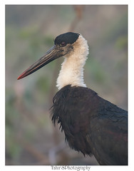Woolly-necked stork (T@hir'S Photography) Tags: woollynecked stork africa animal animalbodypart animaleye animalthemes animalwildlife animalsinthewild beak bioreserve bird birdwatching blackneckedstork blue bushland cloudsky egret environmentalconservation eye feather feeding fishing fog freshwaterbird horizontal krugernationalpark limpopoprovince livingorganism marsh morning nationalpark nationalwildlifereserve naturalphenomenon naturereserve neck outdoors pakistan photography safari sky socialissues southafrica southernafrica vertical waterbird wildlifeconservation wildlifereserve wool nikon d500 portrait closeup rare migration