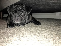 Sadie under the couch (Stefan Candie) Tags: pug pugs cute dog pets 2018