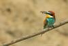 Guêpier d'Europe  (Merops apiaster) (francisaubry) Tags: nikon nikkor 300mm bird aves guepier watcher birdwatcher