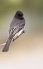Black Phoebe (gilamonster8) Tags: black phoebe bird animal ngc flickrelite 7dmarkii explore eos explored ef400mm56l