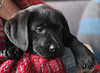 Pebble, my sister's new dog (rick ligthelm) Tags: dog blackdog labrador pebble puppy