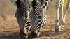 Zebre (giorgio.contatto) Tags: botswana wild zebra