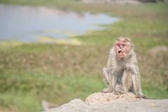 scream of horror (sami kuosmanen) Tags: monkey india intia kauhu horror face scream hampi hirveä asia nature luonto scary