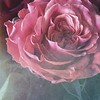 Valentine (-justk-) Tags: valentine valentines day rose roses flowers love