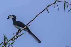 CALAO (Ezio Donati is ) Tags: natura nature animali animals uccelli birds cielo sky bamboo alberi trees africa costadavorio bingervillearea