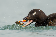 White-winged Scoter (Earl Reinink) Tags: bird duck water earlreinink clam molsuc whitewingedscotrt tuhaouudha