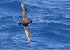 White-chinned Petrel (Med Gull) Tags: antarctic zegrahm cruise whitechinned petrel whitechinnedpetrel
