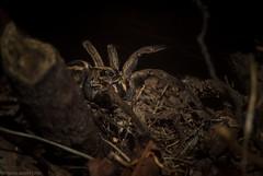 Tasmanicosa kochorum (dustaway) Tags: tullera northernrivers nature nsw australia arthropoda arachnida araneae araneomorphae lycosidae tasmanicosa wolfspider australianspiders