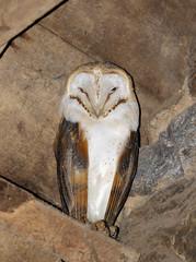 Barn Owl (Steve Boolds) Tags: barnowl tytoalba canon canoneos7dmkii ef100400mmf4556lisusmmkii wildlife bird owl