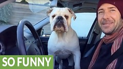 English Bulldog makes his rounds for neighborhood watch (Darth Viral) Tags: bulldogneighborhoodwatch dogincar dogneighborhoodwatch dogvideos dogsandpuppies englishbulldog funnydogs neighborhoodwatch viralvideos
