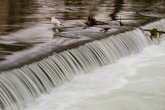 Standing Defiantly (alan.dphotos) Tags: bakewell peak district weir water waterfall current gull seagull river wye