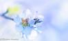 a certain feeling (frederic.gombert) Tags: bloom almond flower flowers tree plant spring light sun sunrise sunlight winter color colors blossom