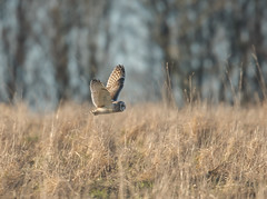 Short-Eared Owl Gloucestershire 25-02-2018-2864 (seandarcy2) Tags: owl shorteared wildlife birds bif raptors bird prey