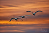 Tundra Swans at Dawn (Chris Parmeter Photography) Tags: tundra swans birds dawn sunrise sky clouds nature flying colors canon 5dsr 500mm