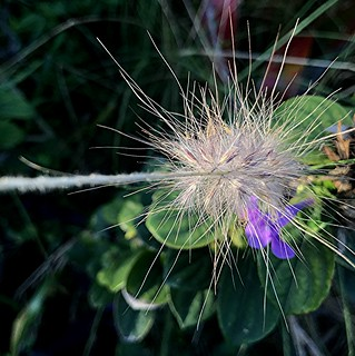 Grasshead and purple flower