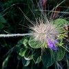 Grasshead and purple flower (jungle mama) Tags: grass purple flower tropical poaceae gramineae moncot cereal bamboo alismatales grasshead rush sedge seagrass coth5