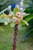 Fioritura di Euphorbia milii (costagar51) Tags: mondello palermo sicilia sicily italia italy piante fiori natura