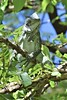 Iguane/Guadeloupe (krisphy) Tags: iguane animal vert verdure ile iledelaguadeloupe guadeloupe foret french france feuilles exterieur exotique reptil