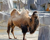 Bactrian Camel (Mark...L) Tags: bactriancamel milwaukeecozoo