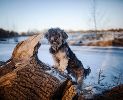9/52 - Snow Day. (Kirstyxo) Tags: teddy cute dog sweet woods 952 52weeksfordogs 52weeksfordogs2018 52weeksfordogs18