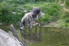 Loup du Canada_GANDALF (Passion Animaux & Photos) Tags: loup canada canadian wolf canis lupus occidentalis parc animalier saintecroix france