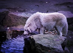 The watching Shadow (pianocats16) Tags: arctic wolf white drinking zoo ghost direwolf cub plush got imagination