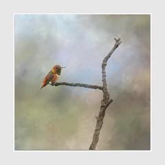 Allen's Hummingbird (Christina's World-) Tags: hummingbird bird tree nature naturepreserve winter migration texture artistic california sandiego botanicalgarden re