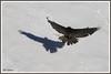 Gypaète os sol 180112-02-RP (paul.vetter) Tags: oiseau ornithologie ornithology faune animal bird gypaètebarbu gypaetusbarbatus bartgeier quebrantahuesos beardedvulture vautour rapace