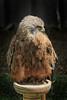 Male common buzzard (crafty1tutu (Ann)) Tags: travel holiday 2017 unitedkingdom uk england yorkshire birdsofpreycentre huby animal bird raptor male crafty1tutu canon7dmkii ef100400mmf4556lisiiusm anncameron redkite naturethroughthelens naturescarousel coth coth5