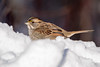 Just Chillin (NicoleW0000) Tags: white throated sparrow songbird bird wildlife nature photography snow winter outdoor ontario